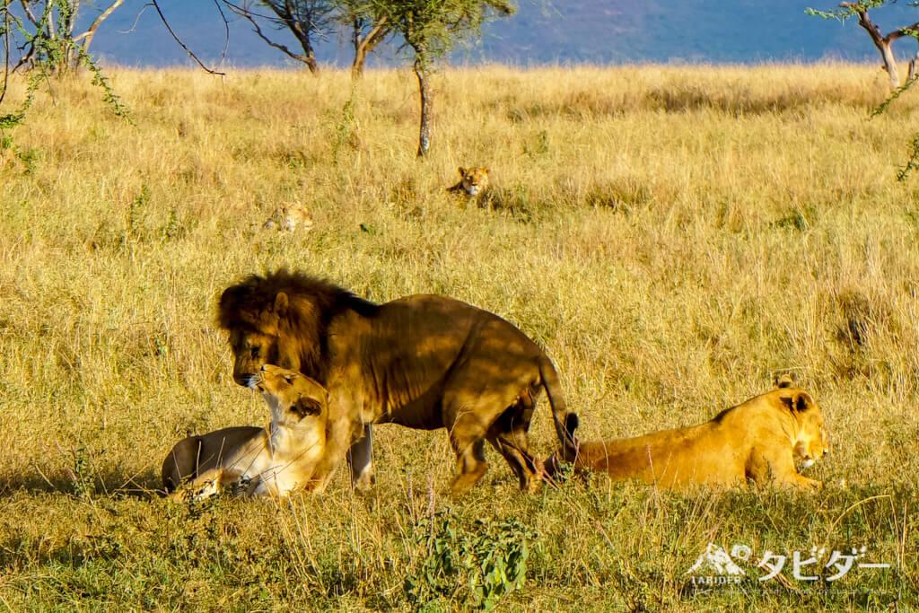 サファリツアーで見たライオンの群れ
