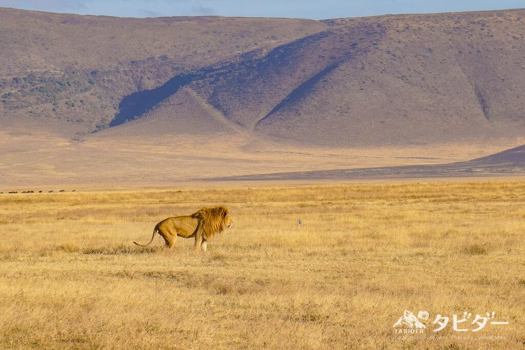 ンゴロンゴロクレーターに生息するライオン