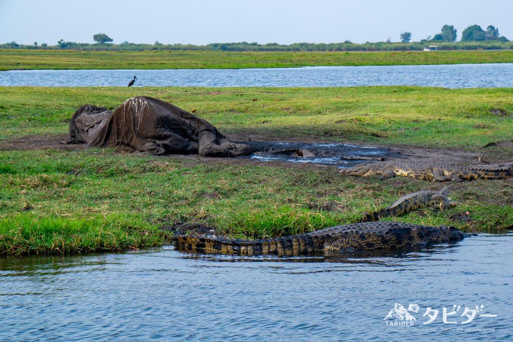 象の死骸と川辺をうろつくクロコダイル