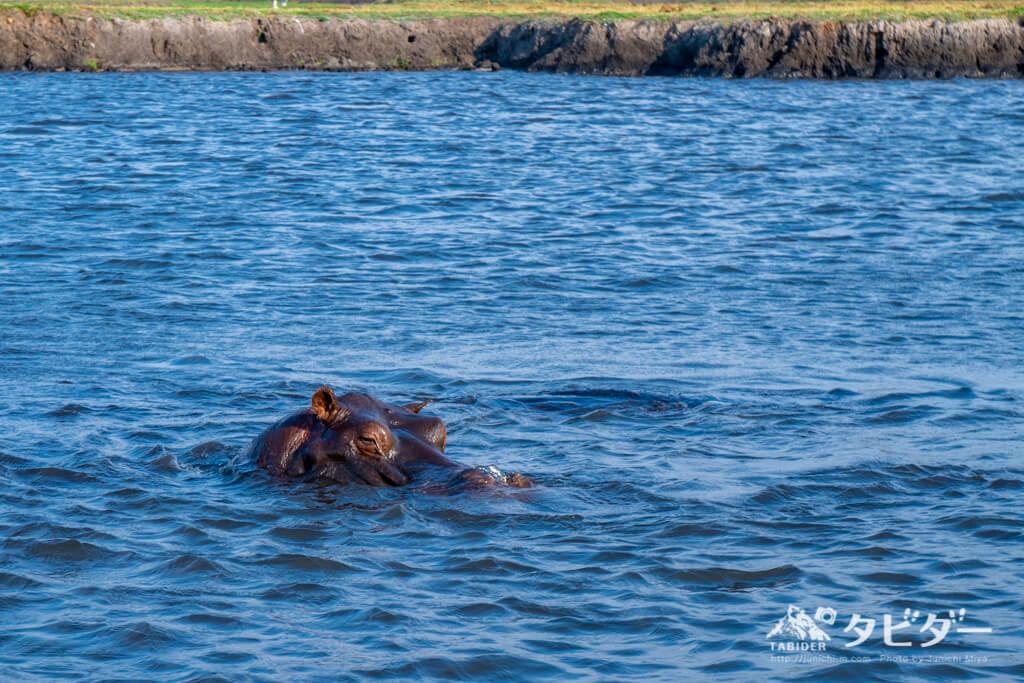 チョベ川を泳ぐカバ
