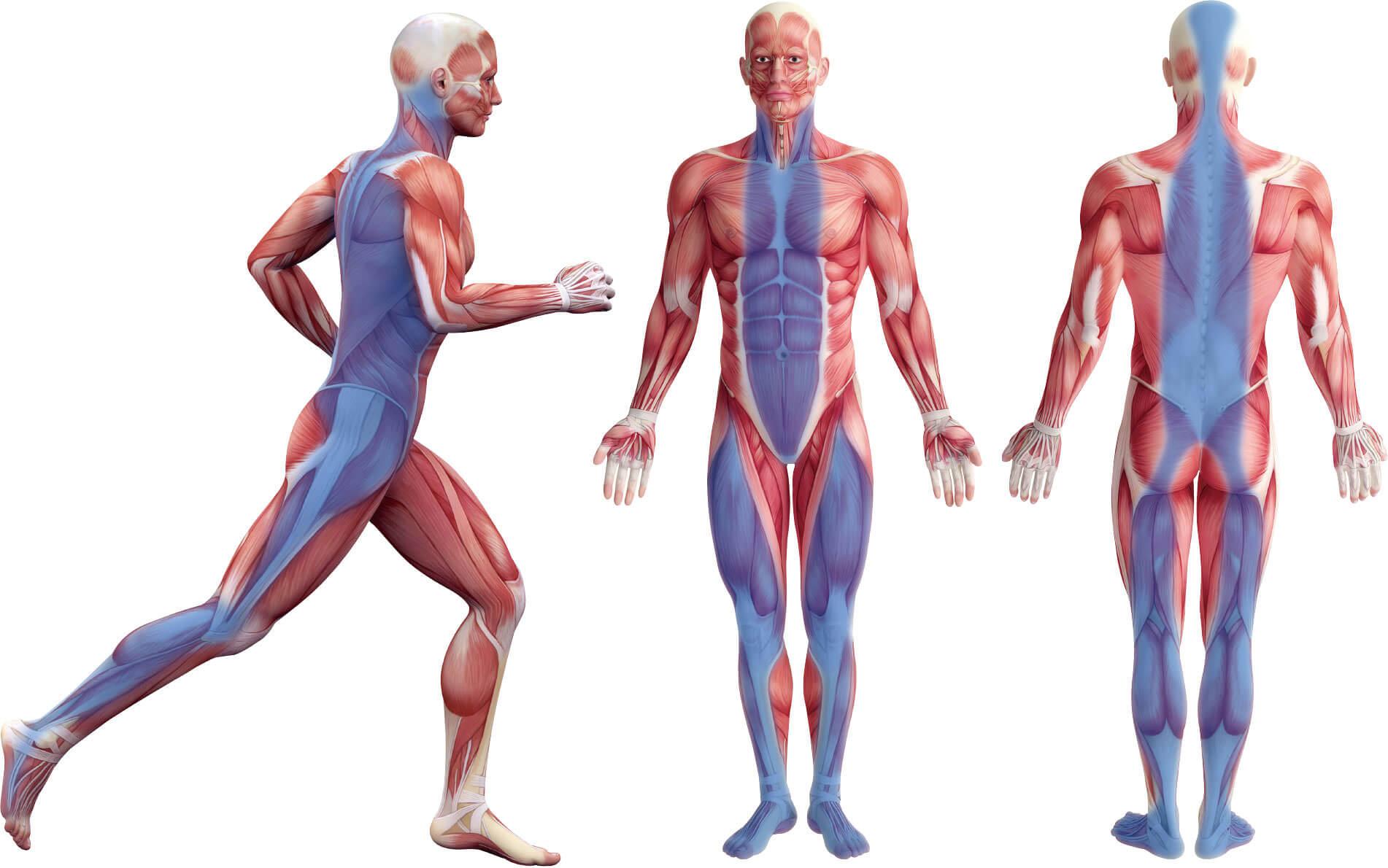 全身の筋肉と筋膜